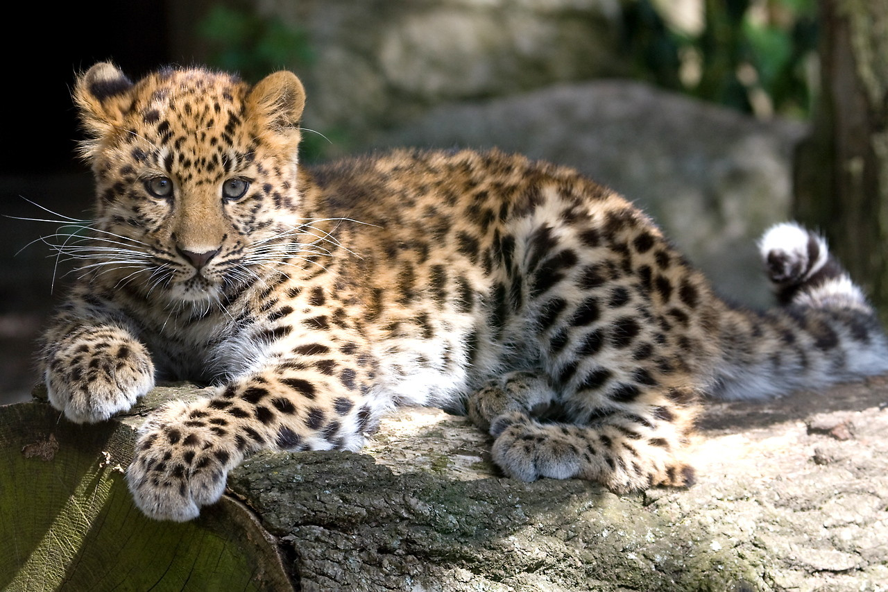 amur leopard The amur leopard (panthera pardus orientalis) is a leopard subspecies native to the primorye region of southeastern russia and the jilin province of northeast chinait is listed as critically endangered on the iucn red list.