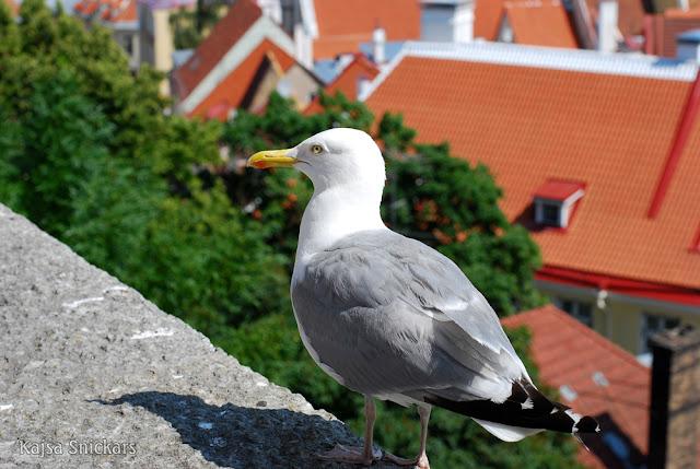 Fiskmås - Seagull