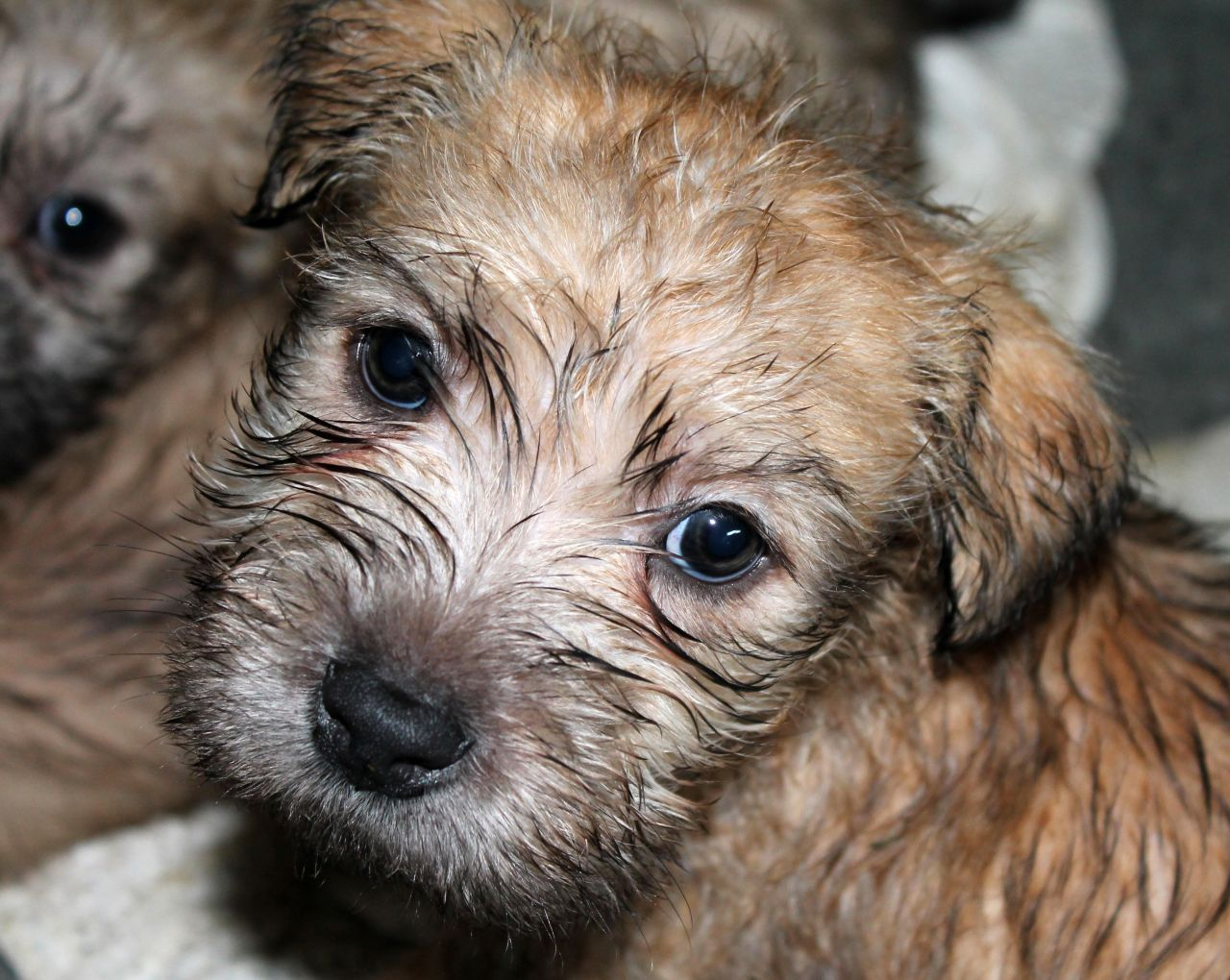c u00e3es  u0026 c u00e3es  irish glen of imaal terrier