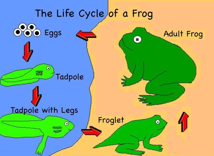 Frog life cycle eggs - photo#9