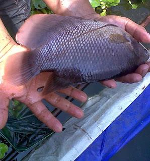 cara budidaya ikan, cara pemijahan ikan gurame di kolam terpal,ternak ikan gabus di kolam terpal,gurame kolam terpal,