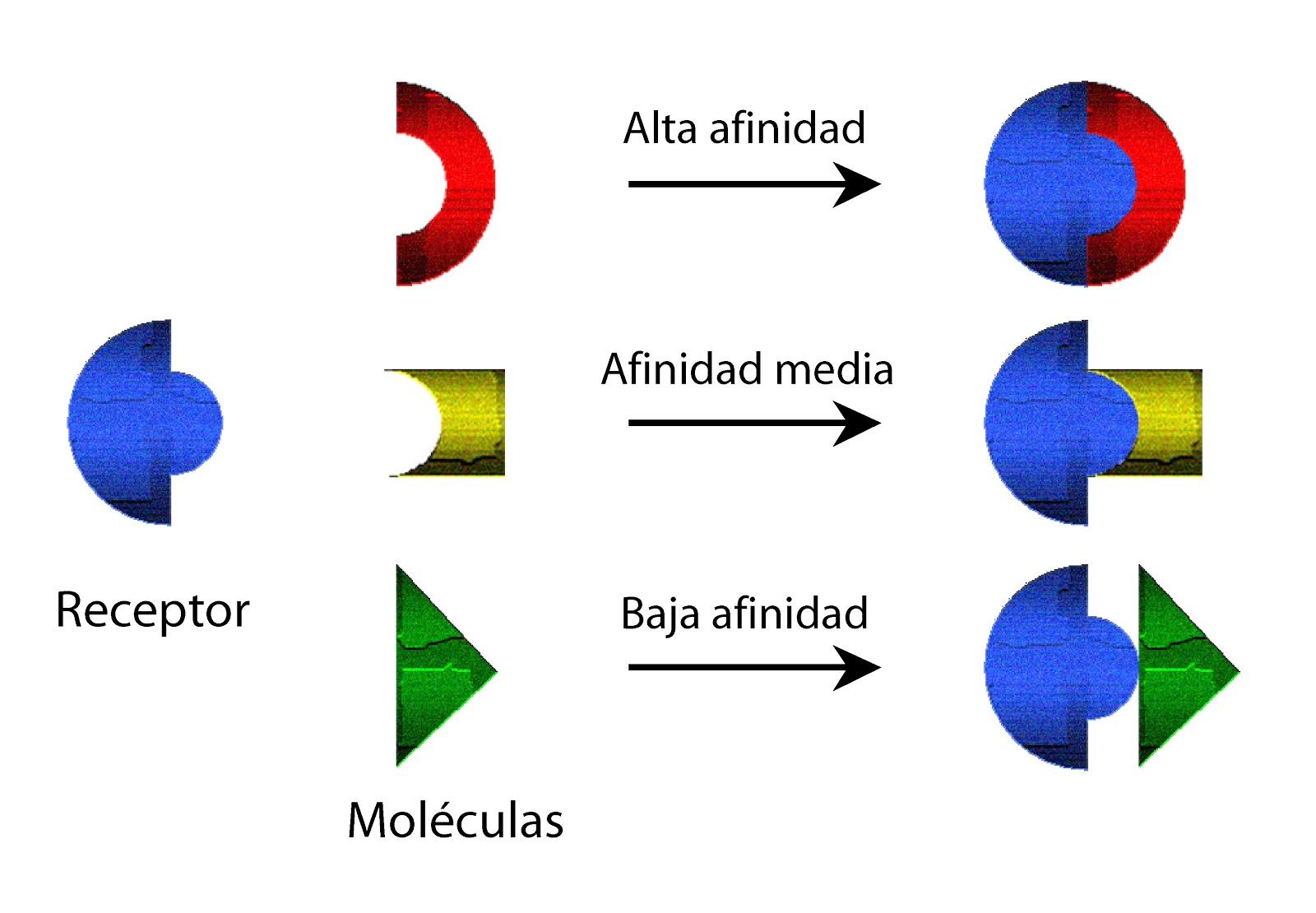 Modelo ilustrativo de la relación receptor-hormona