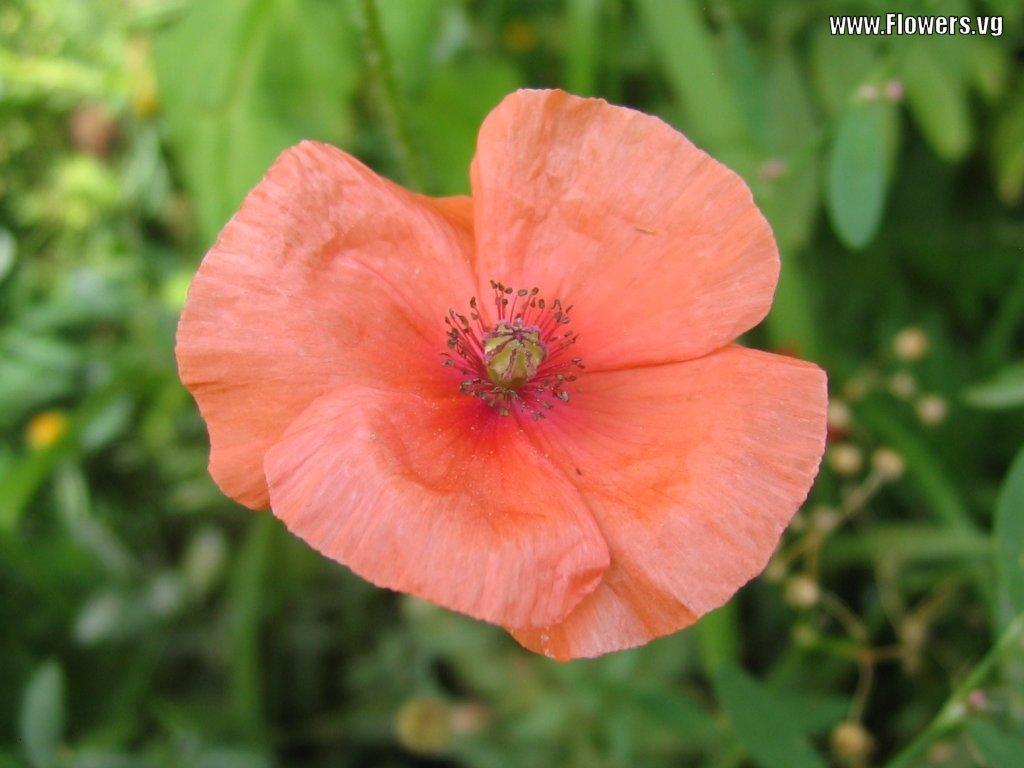 http://2.bp.blogspot.com/-RxucShSX7Hk/Tf9kKXpBquI/AAAAAAAAAP0/VX1347jnMEk/s1600/Pink+Poppy+Wallpapers+1.jpg