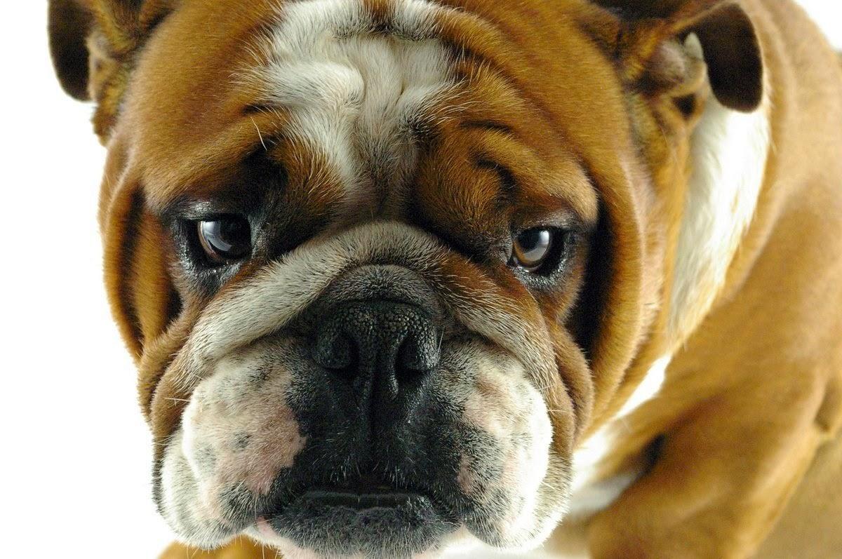 Cinomose canina sintomas