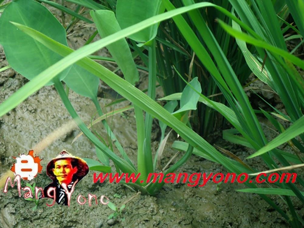 Genjer, lalapan yang tumbuh di sawah diantara tanaman padi.