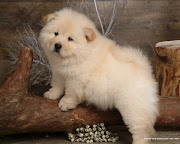 . meaning literally, puffylion dog. A friendly and protective pup, .