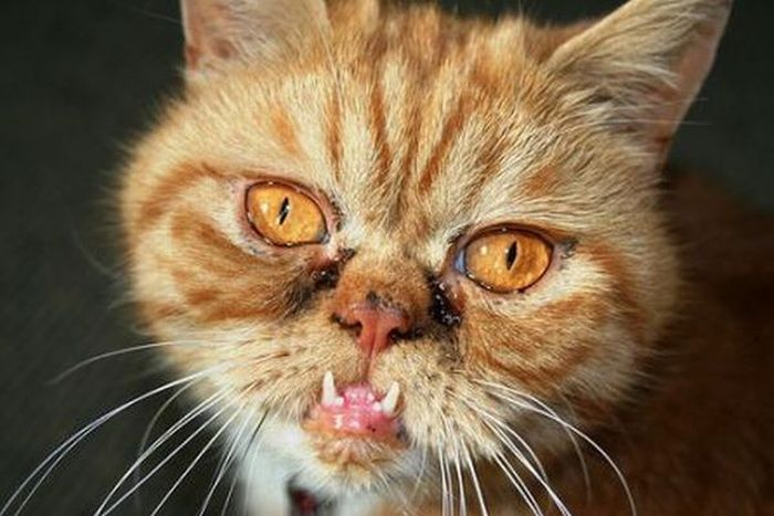 Best Pictures of Cats and More: Ugly Cat Picture Tabby Persian