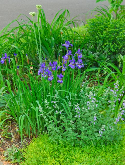 Allium multibulbosum, Siberian iris and catmint, Nepeta 'Walker's Low'