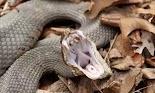 Το Bitis arietans ή αλλιώς ένα είδος οχιάς με την ονομασία puff adder, είναι ένα εξαιρετικά δηλητηριώδες φίδι που βρίσκεται σε όλη την Αφρι...