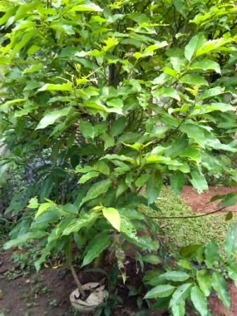 POHON CEMPAKA |  Michelia champaca