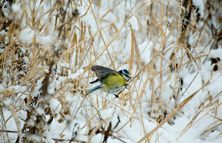 Pitigoiul albastru wild photography Romania