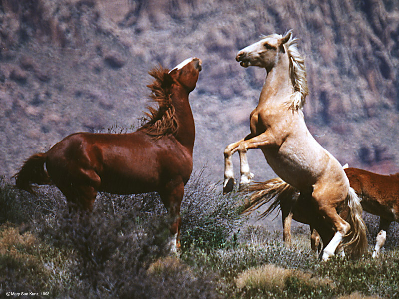 today's best horse pic, White Horses Fighting Brown Horse