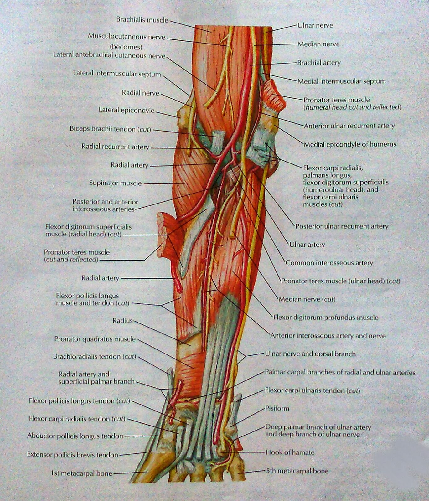 Muscles of Forearm (Deep Layer): Anterior view | VISUAL ANATOMY