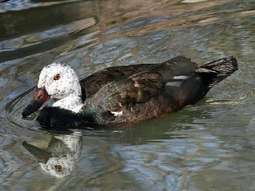 Indian birds - White-winged duck- Asarcornis scutulata