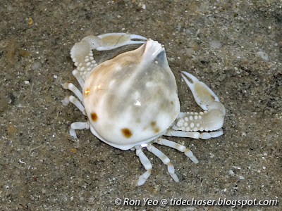 Pebble Crab (Family Leucosiidae)
