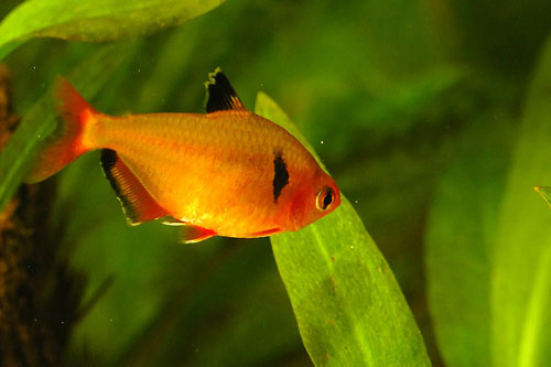 tetra tetras live in schools of many tetra individuals sometimes