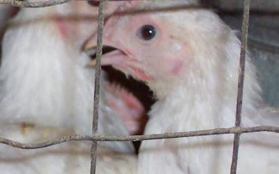 peluang usaha ternak ayam
