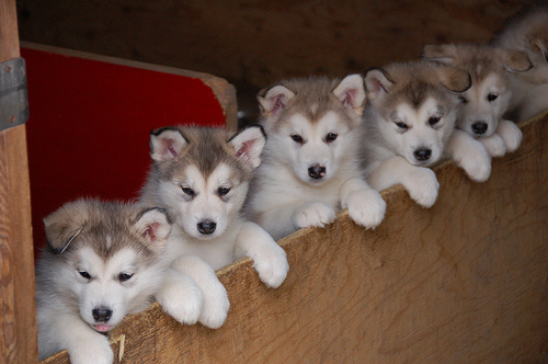 Cute Sled Dog Puppies