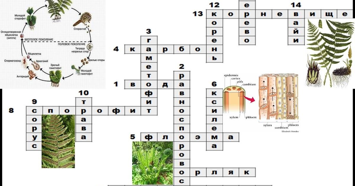 Кроссворд по биологии 6 класс 15 слов ключевое слово побег