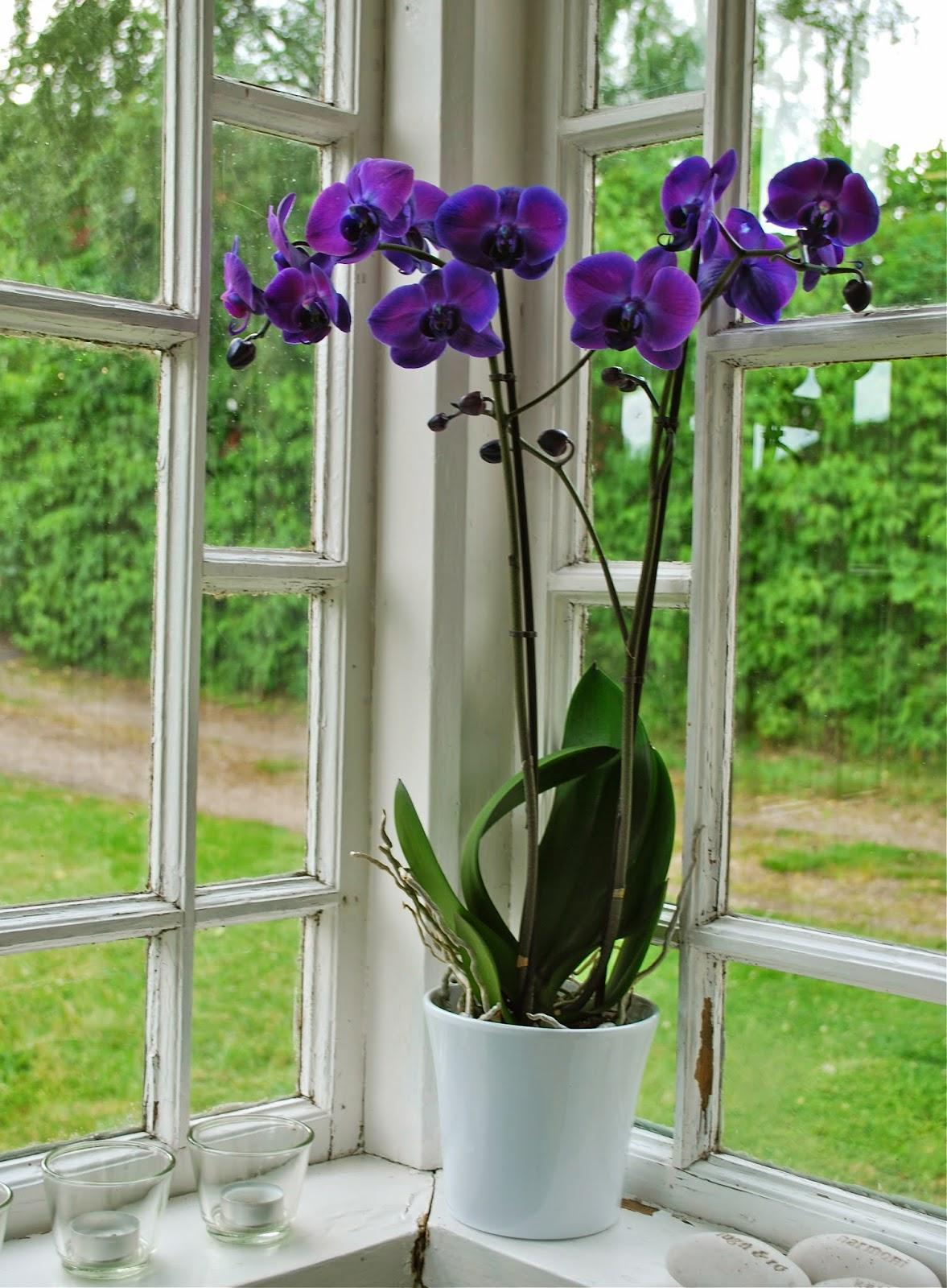 Fröken gröns blogg: lila orkidé