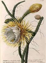 _____________ Selenicereus grandiflorus