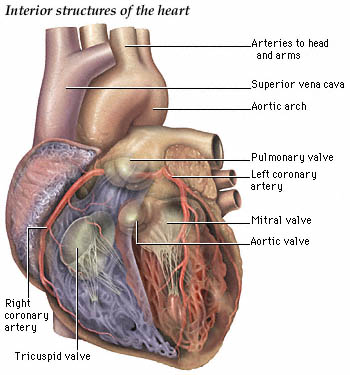 Nurse interior heart anatomy exterior heart anatomy for Exterior of heart diagram