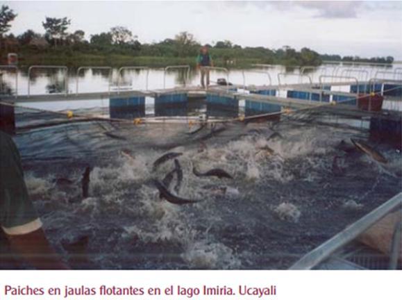 Proyecto mi vida mi planeta ucayali project for Jaulas flotantes para piscicultura