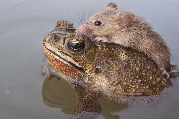 Katak menyelamatkan Tikus yang akan tenggelam