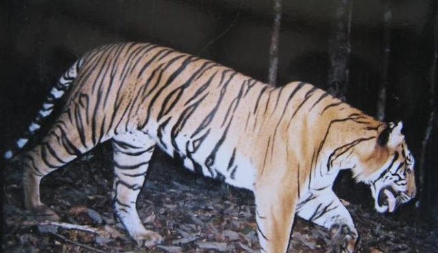 Harimau Sumatera tertangkap kamera pengintai di hutan Pesisir Selatan (2008)