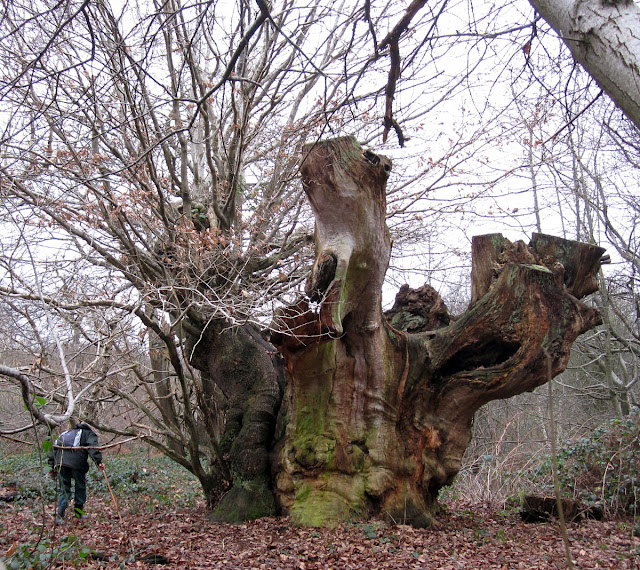 Ancient oak tree.  Lullingstone Country Park,  31 December 2011.