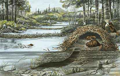 Beaver lodge diagram - photo#17