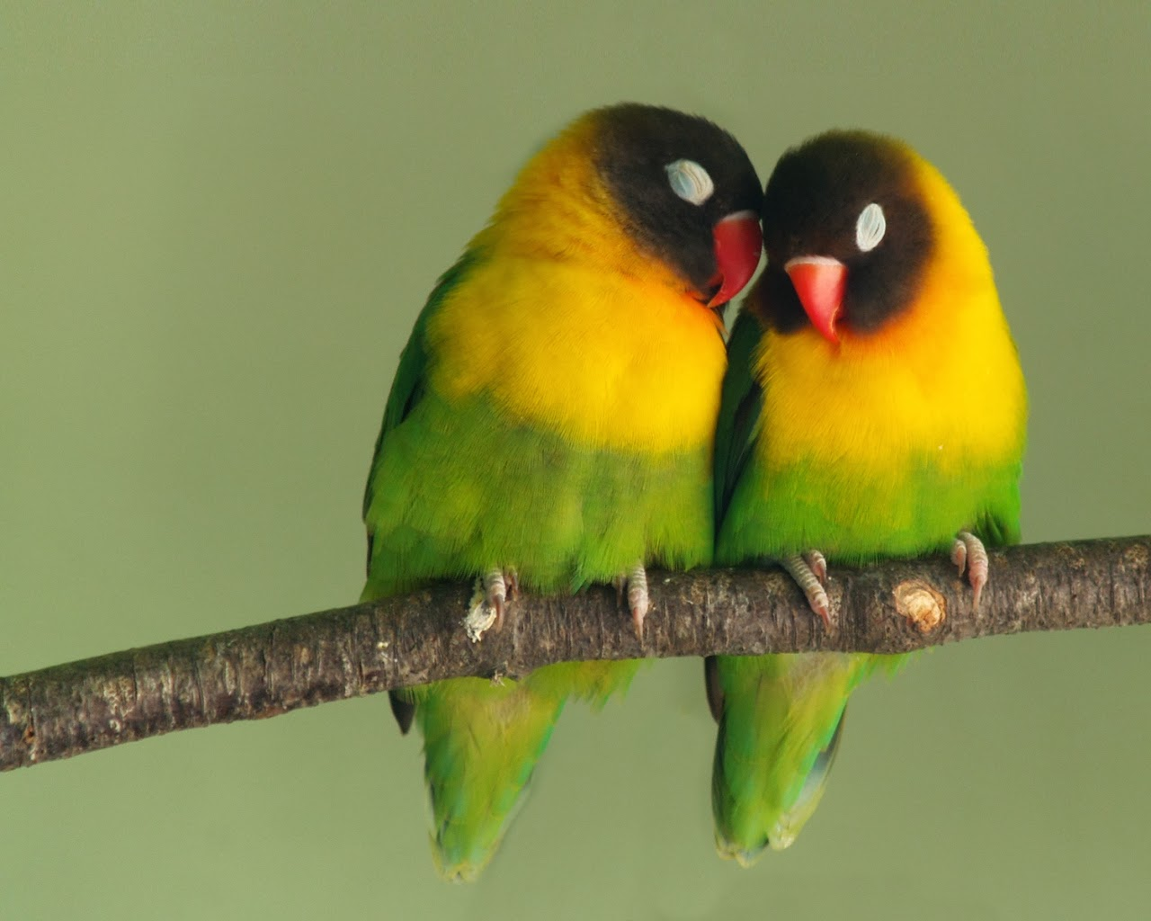 Love Birds Wallpaper In Hd : cute Love Birds Wallpaper HD Background - HD wallpaper