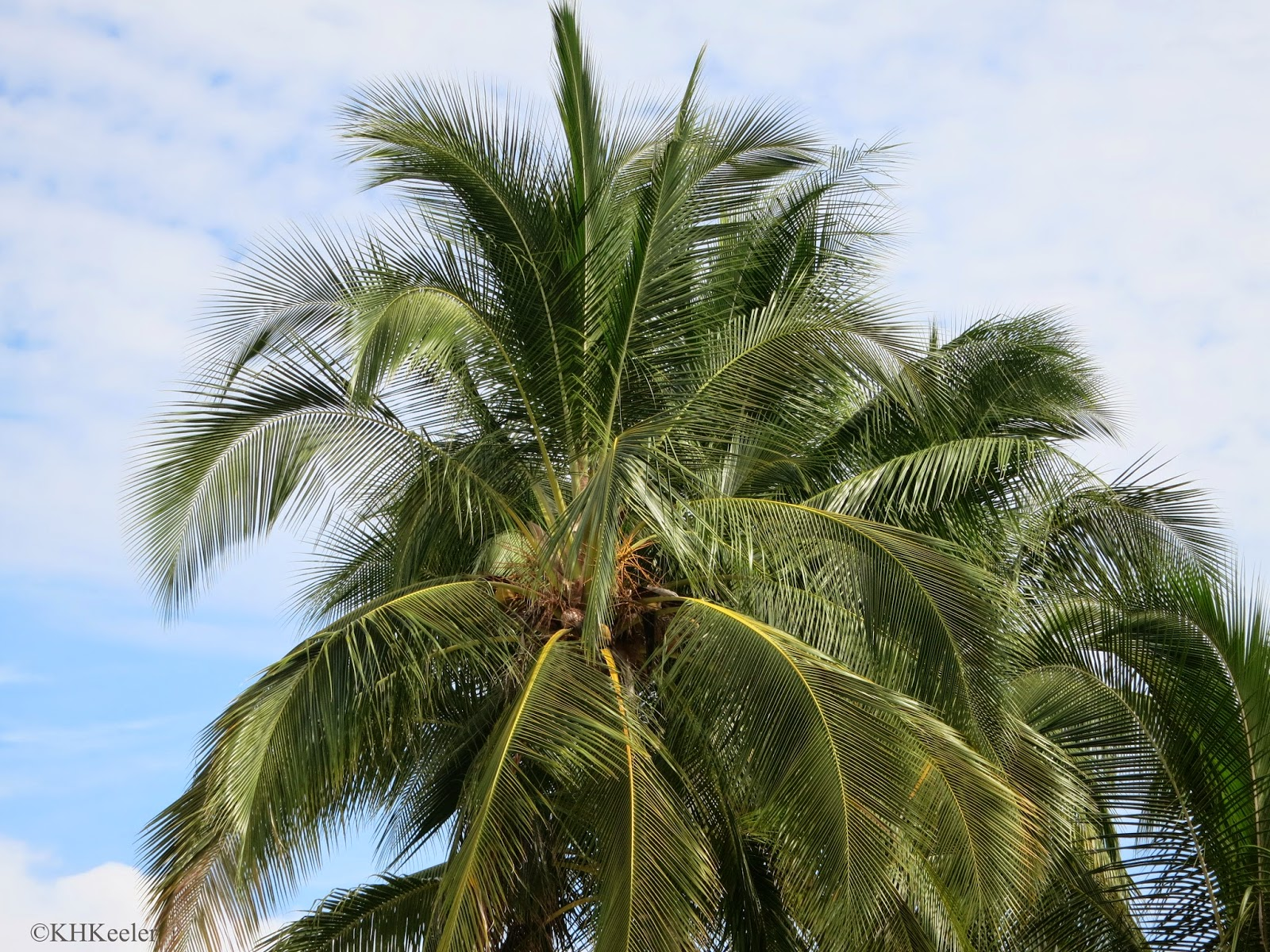 coconuts on coconut palm