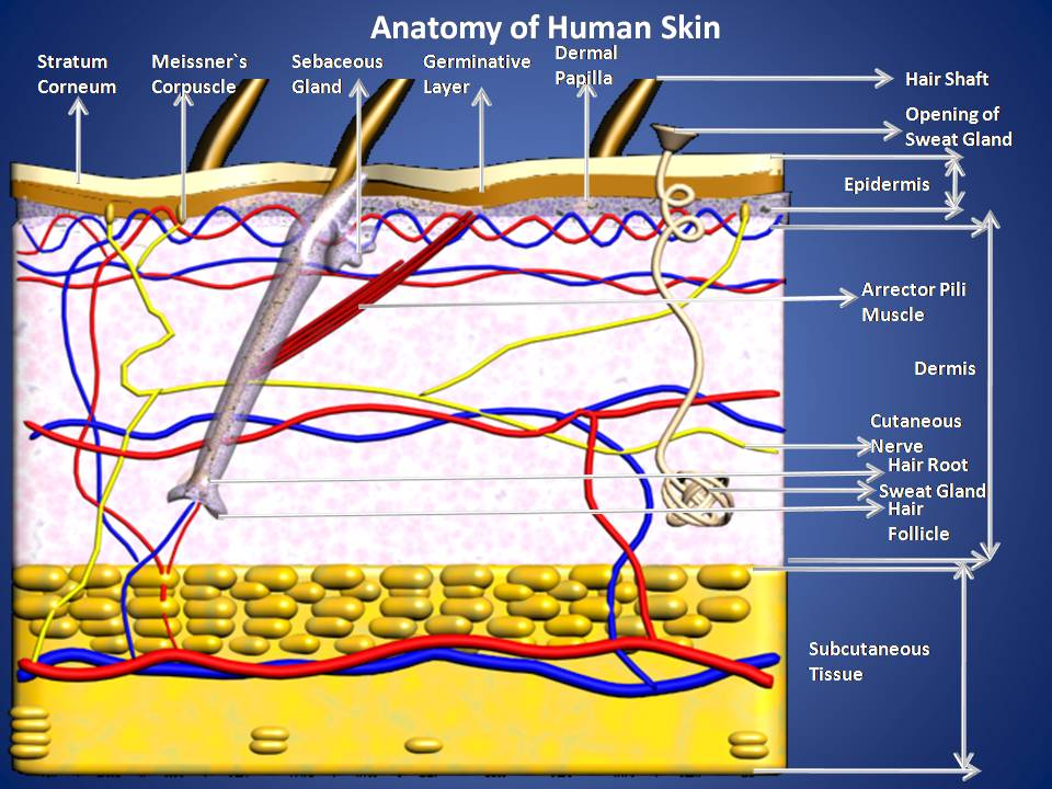 Subhaditya Infoworld Other Sense Organs Of Human Body Skin Sense