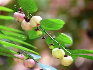khasiat manfaat tanaman katuk