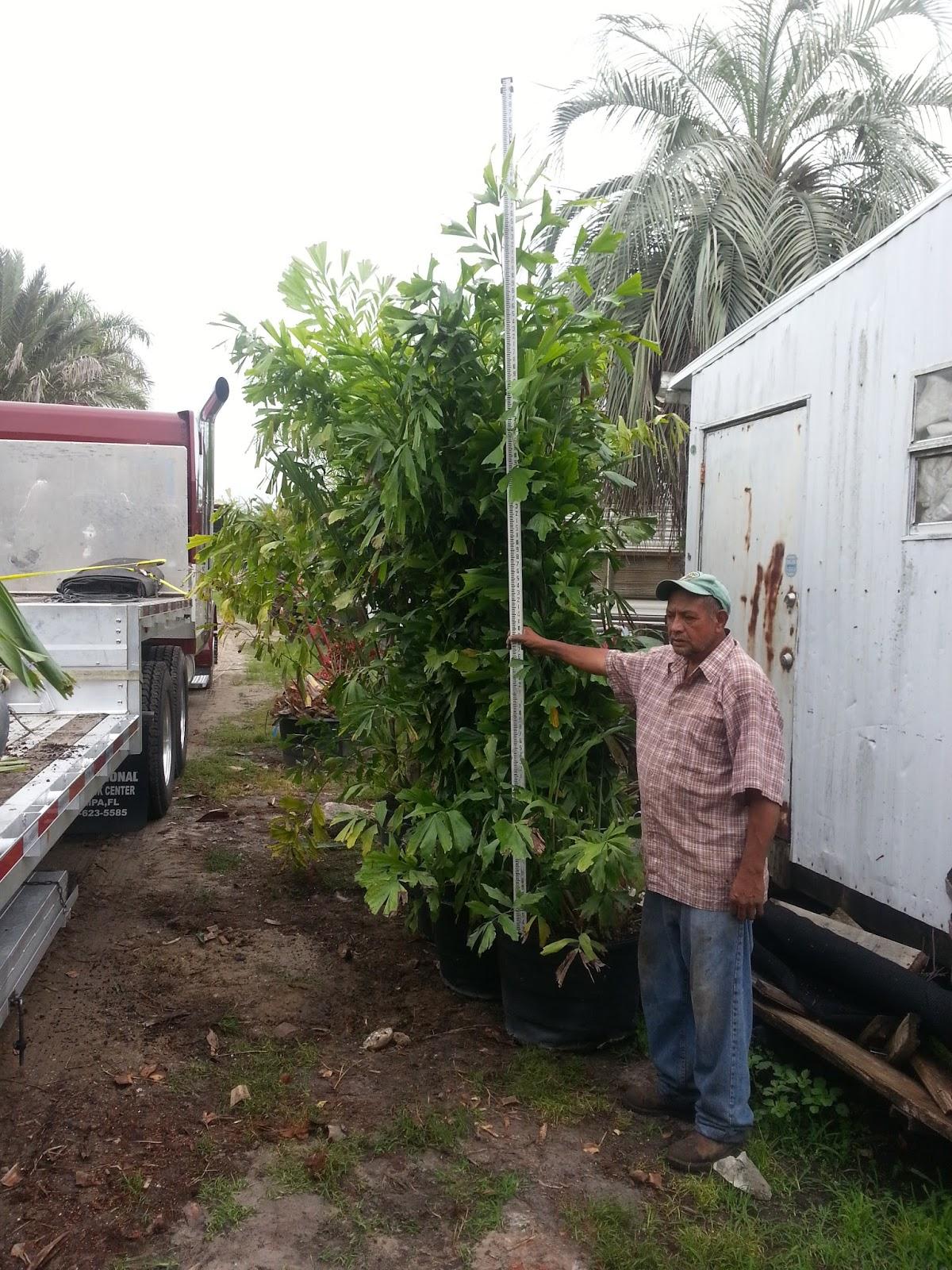 fishtail palm hedge - photo #23