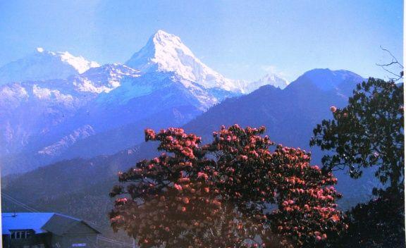 Nepal searching a new sunrise nepal en busca de un nuevo - Rododendro arbol ...