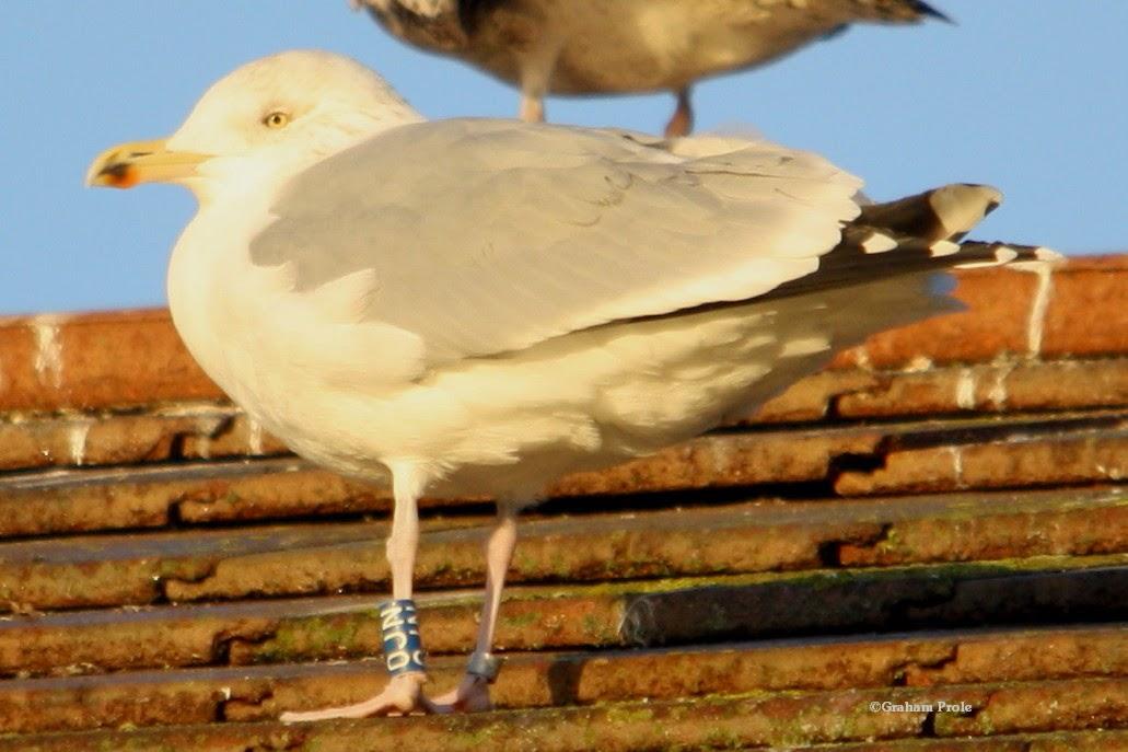 Herring Gull Four Letter Code
