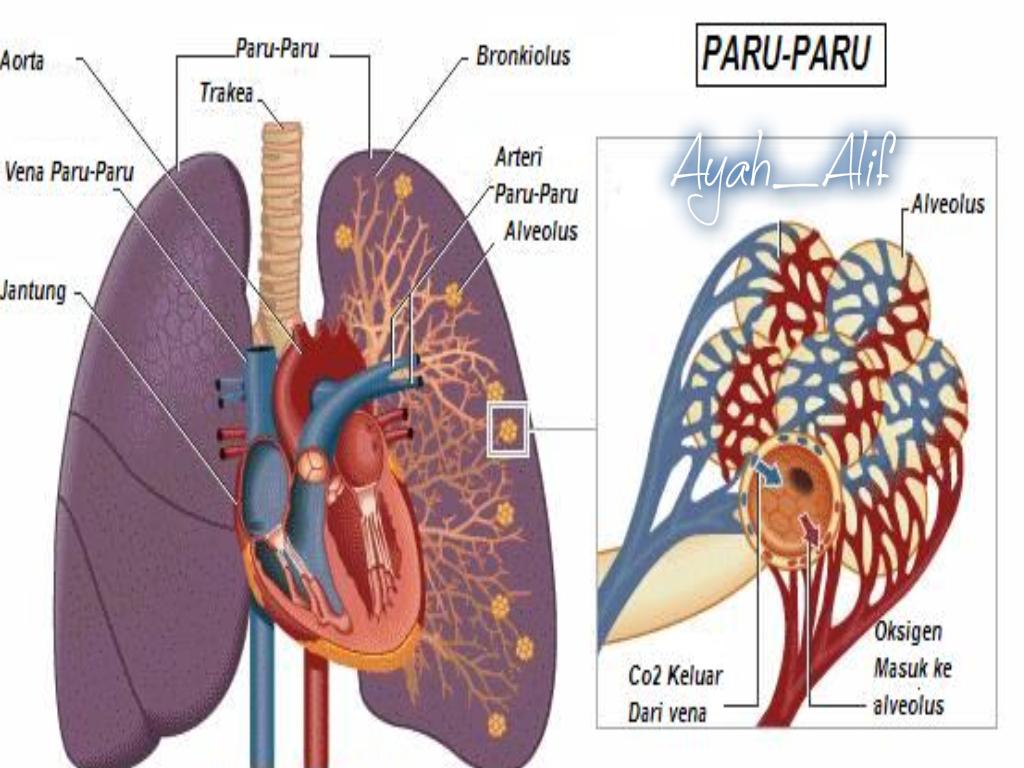Ayah Alif 13 Penyakit Paru Dan Solusinya Alat Cuci Hidung Untuk Penderita Sinus Peradangan Sudah Termasuk Garam Pharmasalt Adalah Salah Satu Organ Pada Sistem Pernapasan Yang Berfungsi Sebagai Tempat Bertukarnya Oksigen Dari Udara Menggantikan Karbondioksida Di