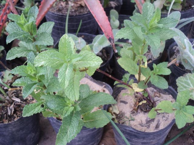 cultivo de la hierbabuena en maceta