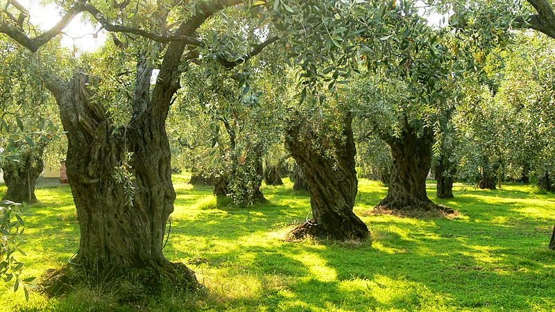 Olive trees orchard