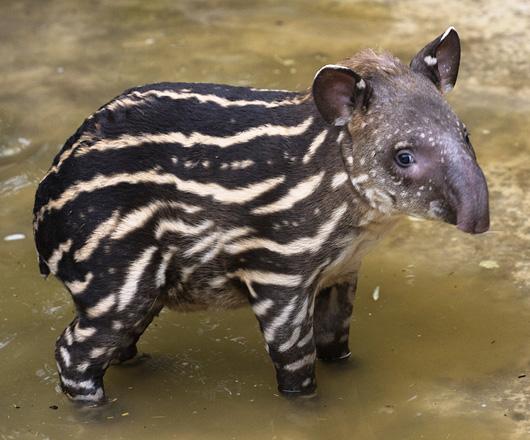 foto tapir - gambar binatang