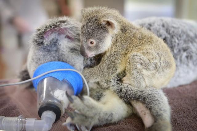 Картинки по запросу коала детеныш