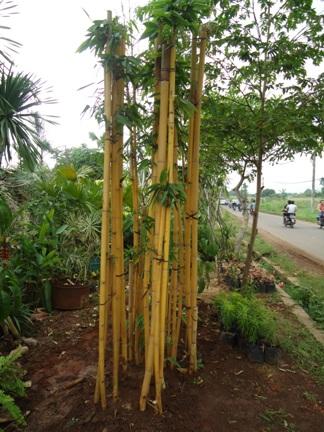Tukang Taman Jakarta: jual tanaman hias | tanaman pelindung