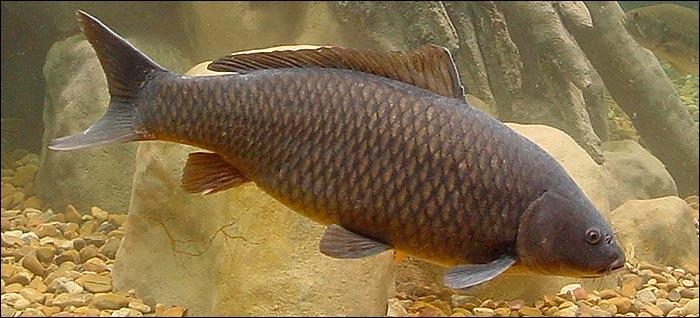 Fateixas team guerra dos peixes gua doce for Carpa de rio