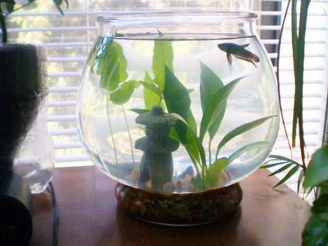 Green jean betta fish for Betta fish plant