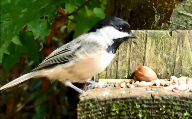 Back Capped Or Hybrid Chickadee In Great Smoky Mountains