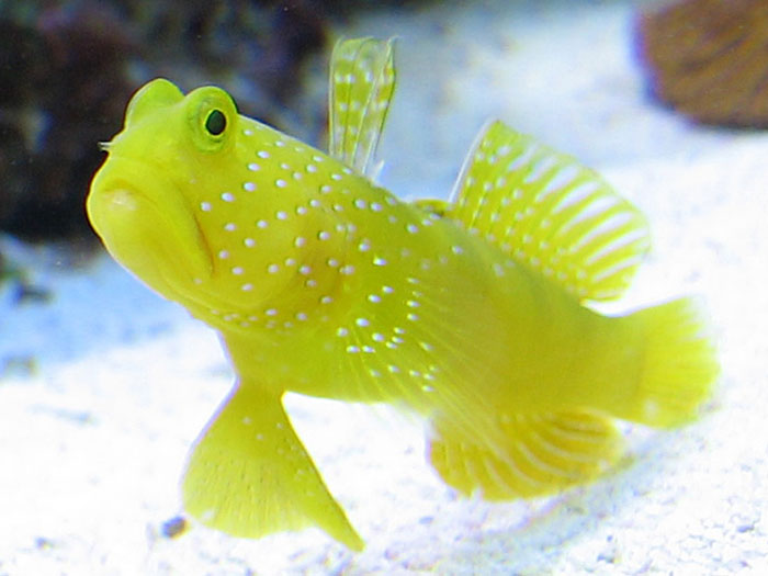 Top 5 starter marine fish top 5 starter marine fish for Best saltwater fish for beginners