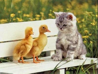 gambar kucing dan bebek lucu