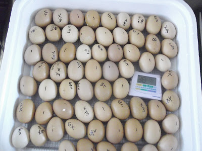 Eggs, Hatch, Incubator, Marked Eggs